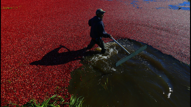 Massachusetts cranberry crop expected to grow 3% this year